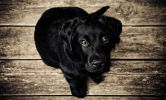 Drei Schlüsselstrategien gegen Erbkrankheiten in der Hundezucht