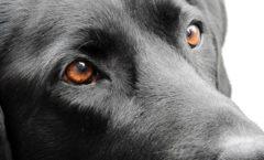"""Labrador und das """"Merle-Gen"""" -  Genetik die zweite"""