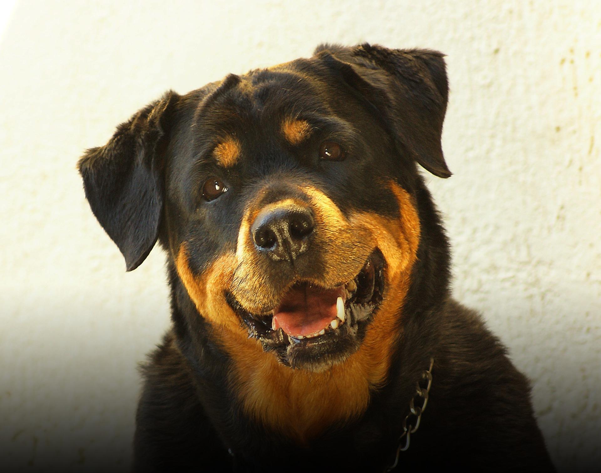10 Hunderassen Mit Hoher Tumor Rate Tierarztpraxis